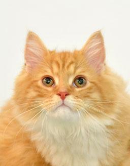 エムドッグス,動物プロダクション,ペットモデル,ペットタレント,モデル猫,タレント猫,ラガマフィン,レオ