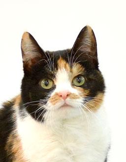 エムドッグス,動物プロダクション,ペットモデル,ペットタレント,モデル猫,タレント猫,三毛猫,てと