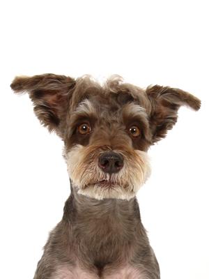 エムドッグス,動物プロダクション,ペットモデル,モデル犬,タレント犬,ミニチュアシュナウザー,サンテ