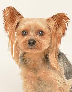 エムドッグス,動物プロダクション,ペットモデル,ペットタレント,モデル犬,タレント犬,ヨークシャーテリア,モアナ