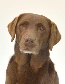 エムドッグス,動物プロダクション,ペットモデル,ペットタレント,モデル犬,タレント犬,ラブラドールレトリーバー,Koa(こあ)
