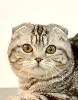 エムドッグス,動物プロダクション,ペットモデル,ペットタレント,モデル猫,タレント猫,スコティッシュフォールド