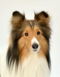 エムドッグス,動物プロダクション,ペットモデル,ペットタレント,モデル犬,タレント犬,シェットランドシープドッグ,レオ
