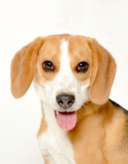エムドッグス,動物プロダクション,ペットモデル,ペットタレント,モデル犬,タレント犬,ビーグル,マニー