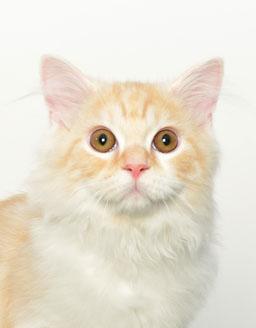 エムドッグス,動物プロダクション,ペットモデル,ペットタレント,モデル猫,タレント猫,サイベリアン,レオン