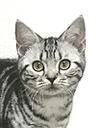 エムドッグス,動物プロダクション,ペットモデル,ペットタレント,モデル猫,タレント猫,アメリカンショートヘア,ソル