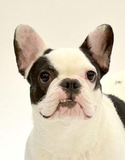 エムドッグス,動物プロダクション,ペットモデル,ペットタレント,モデル犬,タレント犬,フレンチブルドッグ,リリィ