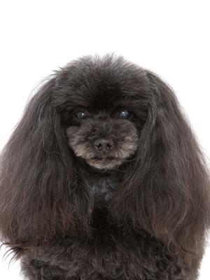 エムドッグス,動物プロダクション,ペットモデル,ペットタレント,モデル犬,タレント犬,トイプードル,エメラルド