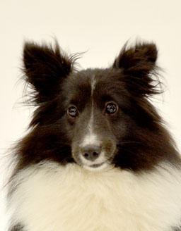 エムドッグス,動物プロダクション,ペットモデル,ペットタレント,モデル犬,タレント犬,シェットランドシープドッグ,トリステン