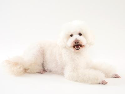 エムドッグス,動物プロダクション,ペットモデル,ペットタレント,モデル犬,タレント犬,トイプードル,ジュリアン