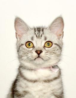 エムドッグス,動物プロダクション,ペットモデル,ペットタレント,モデル猫,タレント猫,アメリカンショートヘア,リンダ