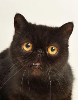 エムドッグス,動物プロダクション,ペットモデル,ペットタレント,モデル猫,タレント猫,エキゾチックショートヘア,ジジ