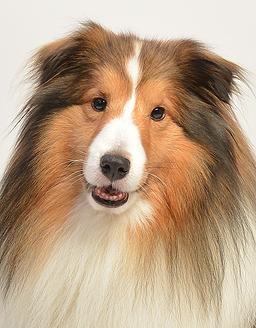 エムドッグス,動物プロダクション,ペットモデル,ペットタレント,モデル犬,タレント犬,シェットランドシープドッグ,オレオ