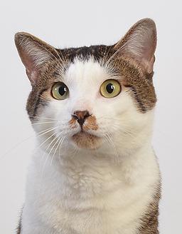 エムドッグス,動物プロダクション,ペットモデル,ペットタレント,モデル猫,タレント猫,MIX,フク