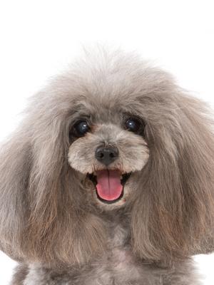 エムドッグス,動物プロダクション,ペットモデル,ペットタレント,モデル犬,タレント犬,トイプードル,アンジェリーナ