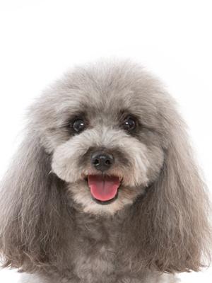エムドッグス,動物プロダクション,ペットモデル,ペットタレント,モデル犬,タレント犬,トイプードル,ティモシー