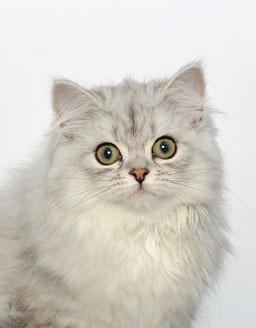 エムドッグス,動物プロダクション,ペットモデル,ペットタレント,モデル猫,タレント猫,ミヌエット,ねる