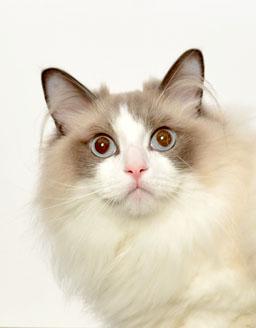 エムドッグス,動物プロダクション,ペットモデル,ペットタレント,モデル猫,タレント猫,ラグドール,蓮