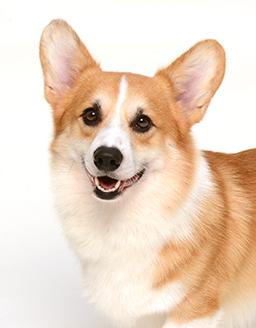 エムドッグス,動物プロダクション,ペットモデル,ペットタレント,モデル犬,タレント犬,ウェルッシュコーギー,マーヴィン