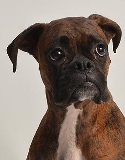 エムドッグス,動物プロダクション,ペットモデル,ペットタレント,モデル犬,タレント犬,ボクサー,めんま