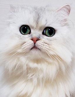 エムドッグス,動物プロダクション,ペットモデル,ペットタレント,モデル猫,タレント猫,ペルシャ,Tiffa(ティファ)