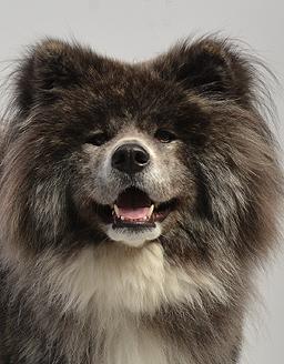 エムドッグス,動物プロダクション,ペットモデル,ペットタレント,モデル犬,タレント犬,秋田犬,ショコラ