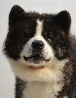 エムドッグス,動物プロダクション,ペットモデル,ペットタレント,モデル犬,タレント犬,秋田犬,海夢