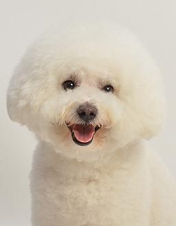 エムドッグス,動物プロダクション,ペットモデル,ペットタレント,モデル犬,タレント犬,ビションフリーゼ,PEARL(パール)