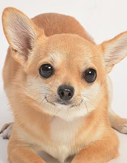 エムドッグス,動物プロダクション,ペットモデル,ペットタレント,モデル犬,タレント犬,チワワ,コスモ