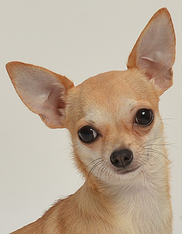 エムドッグス,動物プロダクション,ペットモデル,ペットタレント,モデル犬,タレント犬,チワワ,こはる