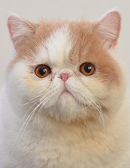 エムドッグス,動物プロダクション,ペットモデル,ペットタレント,モデル猫,タレント猫,エキゾチックショートヘア,ぽてと