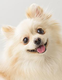 エムドッグス,動物プロダクション,ペットモデル,ペットタレント,モデル犬,タレント犬,ポメラニアン,ポム