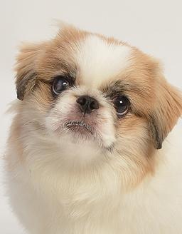 エムドッグス,動物プロダクション,ペットモデル,ペットタレント,モデル犬,タレント犬,ペキニーズ,ショコラ