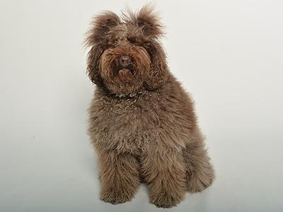エムドッグス,動物プロダクション,ペットモデル,ペットタレント,モデル犬,タレント犬,オーストラリアンラブラドゥードル,Repetto(レペット)