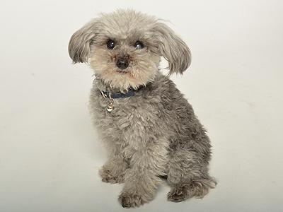 エムドッグス,動物プロダクション,ペットモデル,ペットタレント,モデル犬,タレント犬,トイプードル,Rocca