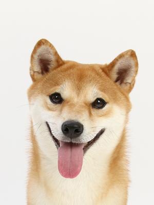 エムドッグス,動物プロダクション,ペットモデル,ペットタレント,モデル犬,タレント犬,柴犬,ねね