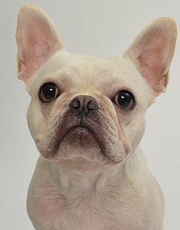 エムドッグス,動物プロダクション,ペットモデル,ペットタレント,モデル犬,タレント犬,フレンチブルドッグ,たろ