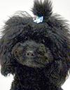 エムドッグス,動物プロダクション,ペットモデル,ペットタレント,モデル犬,タレント犬,トイプードル,リリィー