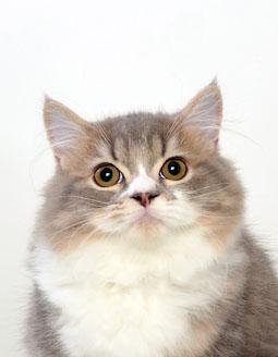 エムドッグス,動物プロダクション,ペットモデル,ペットタレント,モデル猫,タレント猫,ミヌエット,ミル