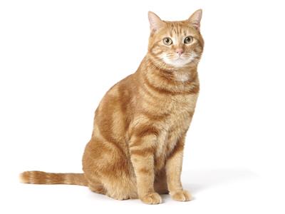 エムドッグス,動物プロダクション,ペットモデル,ペットタレント,モデル猫,タレント猫,アメリカンショートヘア,ラム