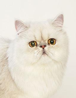 エムドッグス,動物プロダクション,ペットモデル,ペットタレント,モデル猫,タレント猫,ペルシャ,ちぢみ
