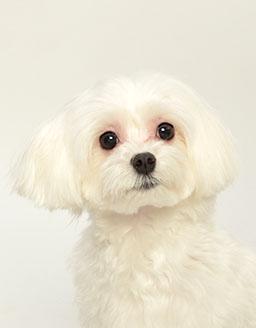 エムドッグス,動物プロダクション,ペットモデル,ペットタレント,モデル犬,タレント犬,マルチーズ,にょっきー