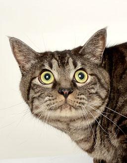 エムドッグス,動物プロダクション,ペットモデル,ペットタレント,モデル猫,タレント猫,日本猫,とらきち