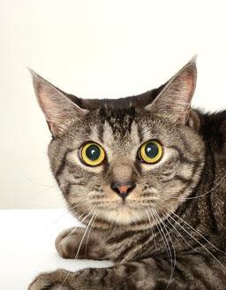 動物プロダクション エムドッグス ペットモデル 日本猫 ゆきまる