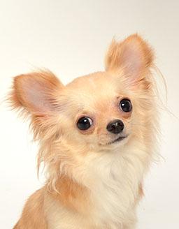 エムドッグス,動物プロダクション,ペットモデル,ペットタレント,モデル犬,タレント犬,チワワ,レイア