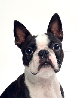 エムドッグス,動物プロダクション,ペットモデル,ペットタレント,モデル犬,タレント犬,ボストンテリア,サボ