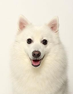 エムドッグス,動物プロダクション,ペットモデル,ペットタレント,モデル犬,タレント犬,日本スピッツ,サクラ