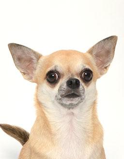 エムドッグス,動物プロダクション,ペットモデル,ペットタレント,モデル犬,タレント犬,チワワ,ウーラ