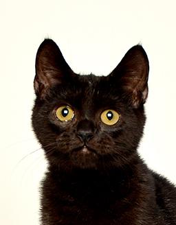 動物プロダクション エムドッグス ペットモデル ミックス猫 くろまめ