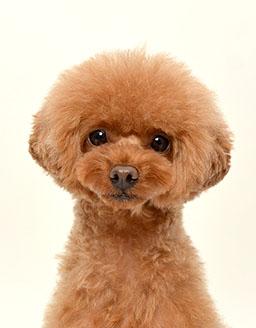 エムドッグス,動物プロダクション,ペットモデル,ペットタレント,モデル犬,タレント犬,トイプードル,リボン